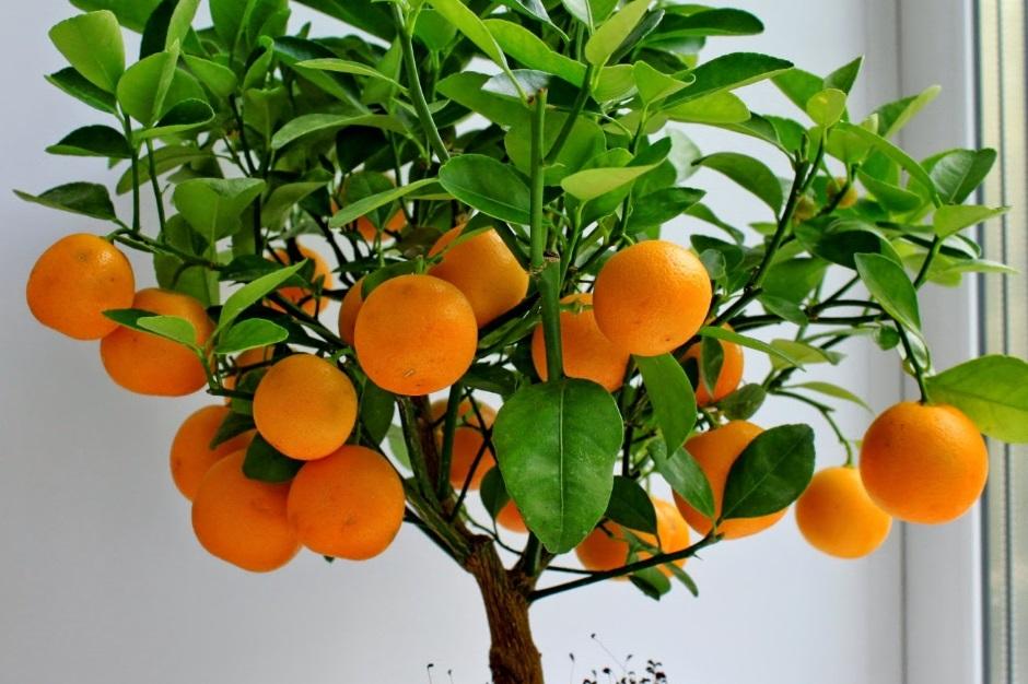 Как вырастить мандарин из косточки.Фото1