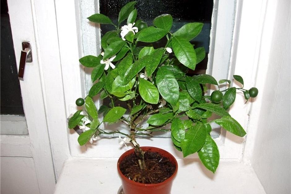как цветет цитрусовое дерево