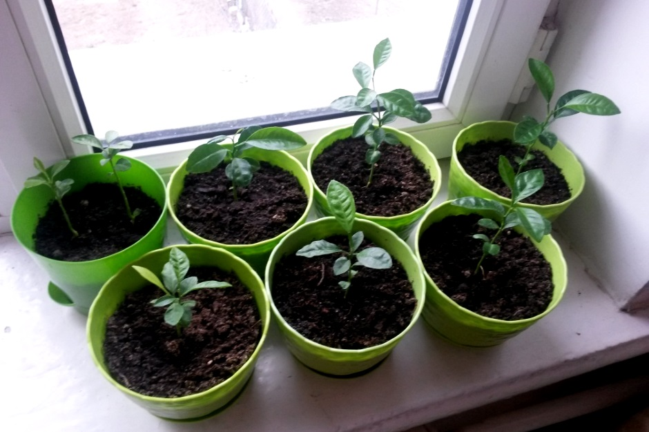 как растет мандарин в домашних условиях фото