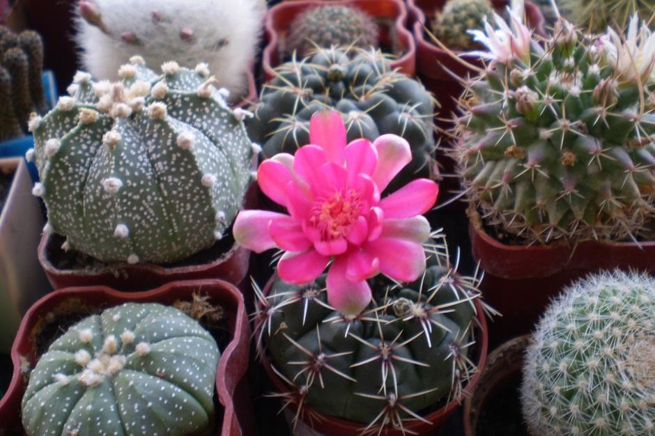 семейство кактусовых