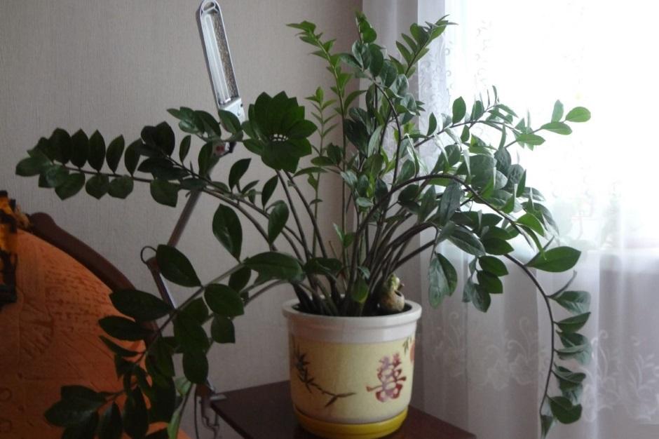 Самые неприхотливые комнатные растения комнатные растения для начинающих