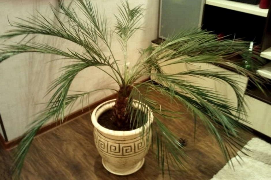 Финиковая пальма в домашних условиях уход форум