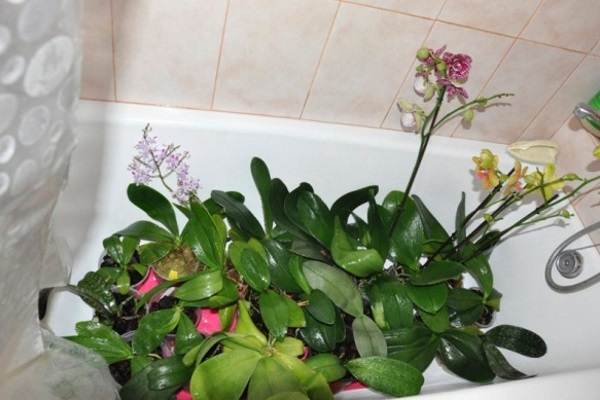 как поливать орхидею