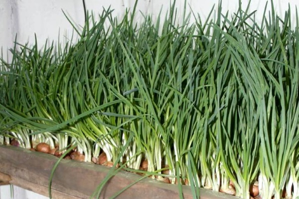 зеленый лук всю зиму
