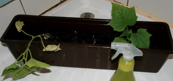 Огурцы на подоконнике: советы как вырастить в домашних условиях