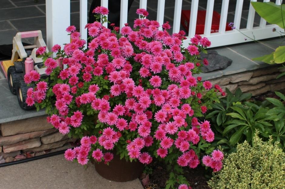 хризантема в первый год
