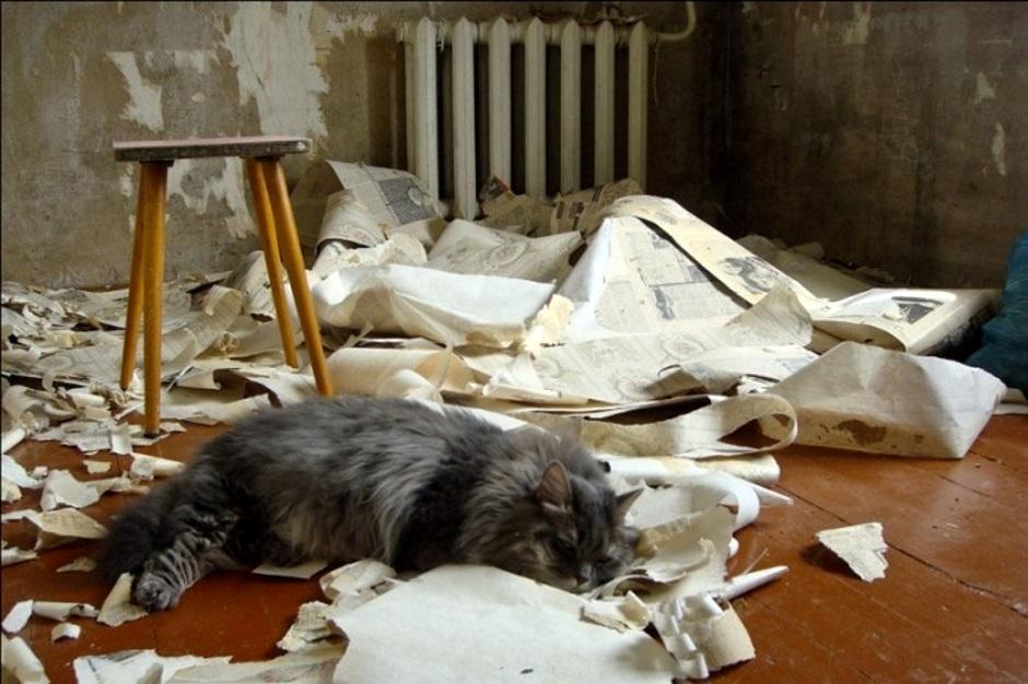 кот помогает снимать старые обои во время ремонта
