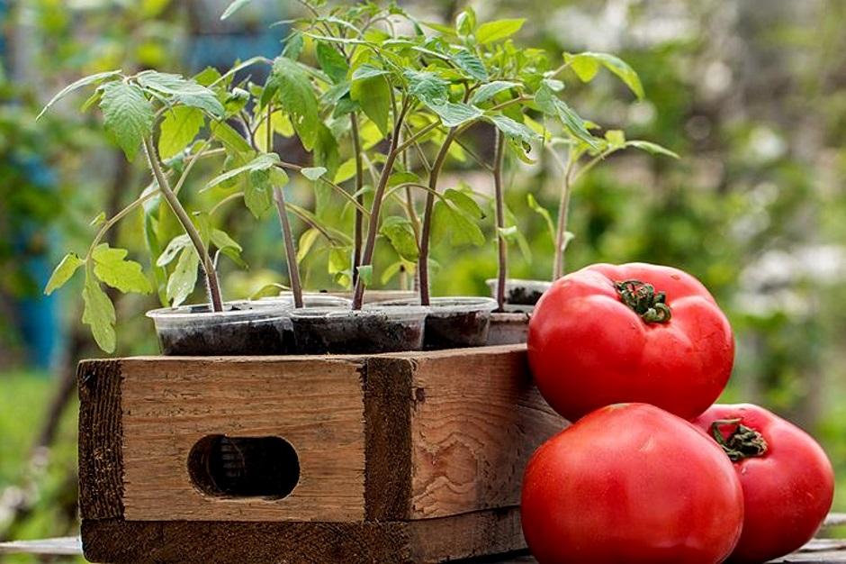 когда высевать томаты на рассаду