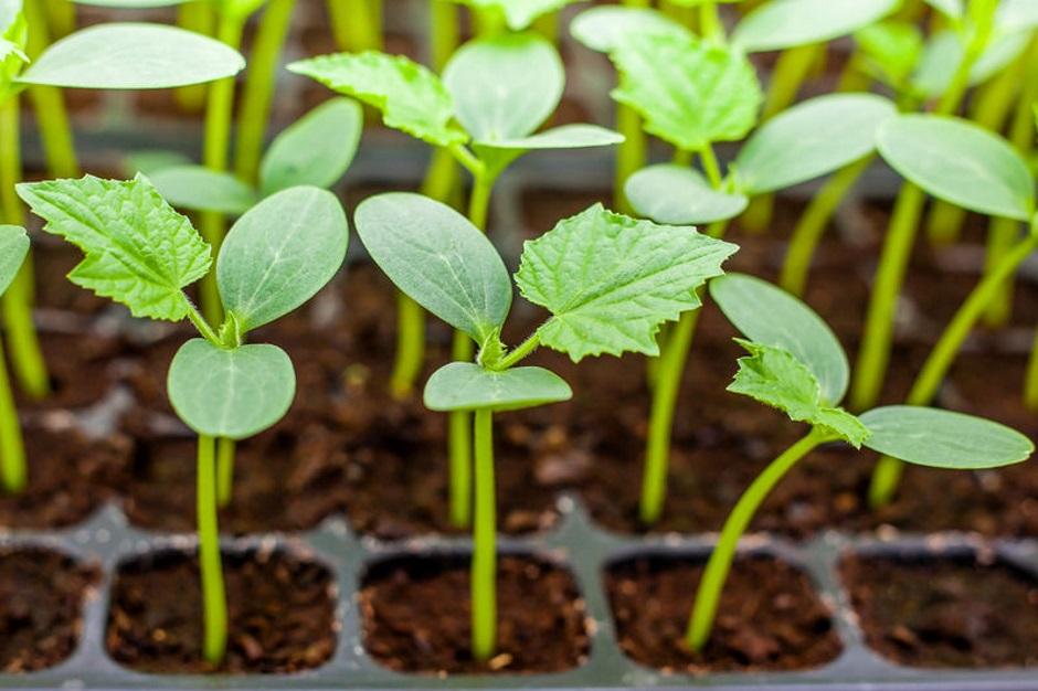 выращивание рассады в специальной таре