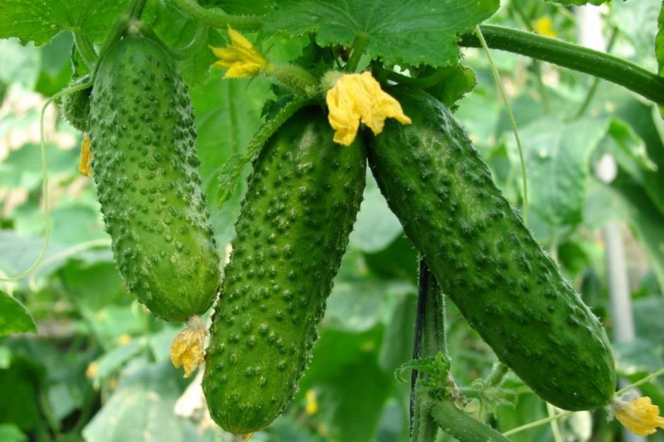 секрет выращивания огурца