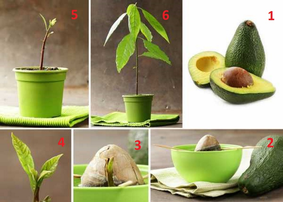 как вырастить авокадо из косточки в домашних условиях в горшке пошагово фото