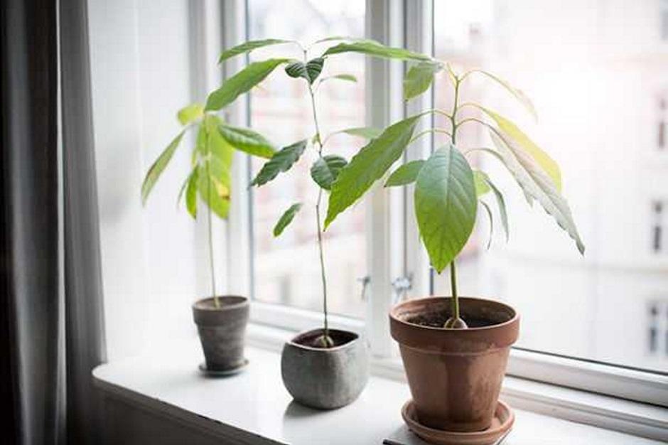формирование дерева авокадо