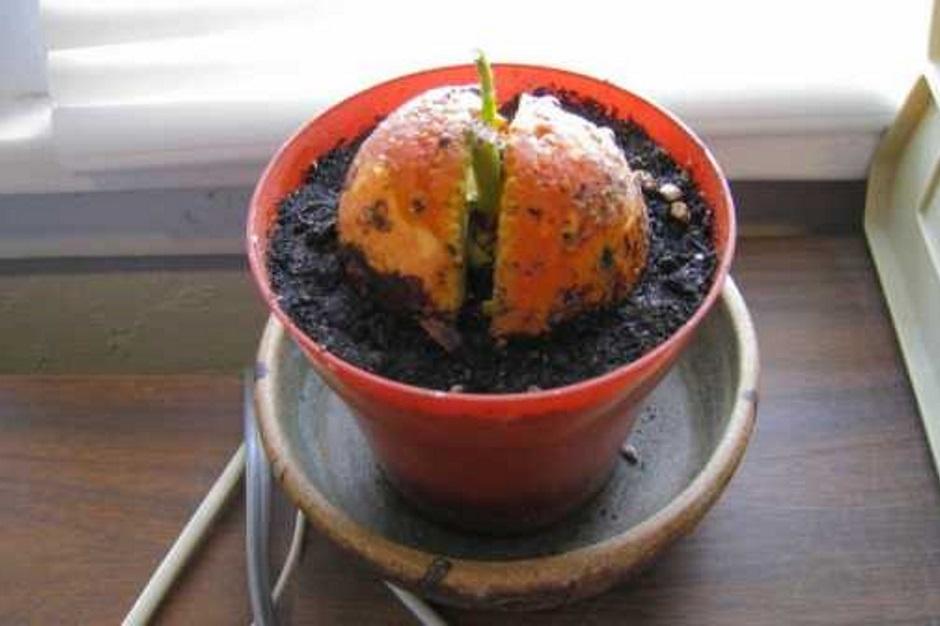проращивание косточки авокадо в грунте
