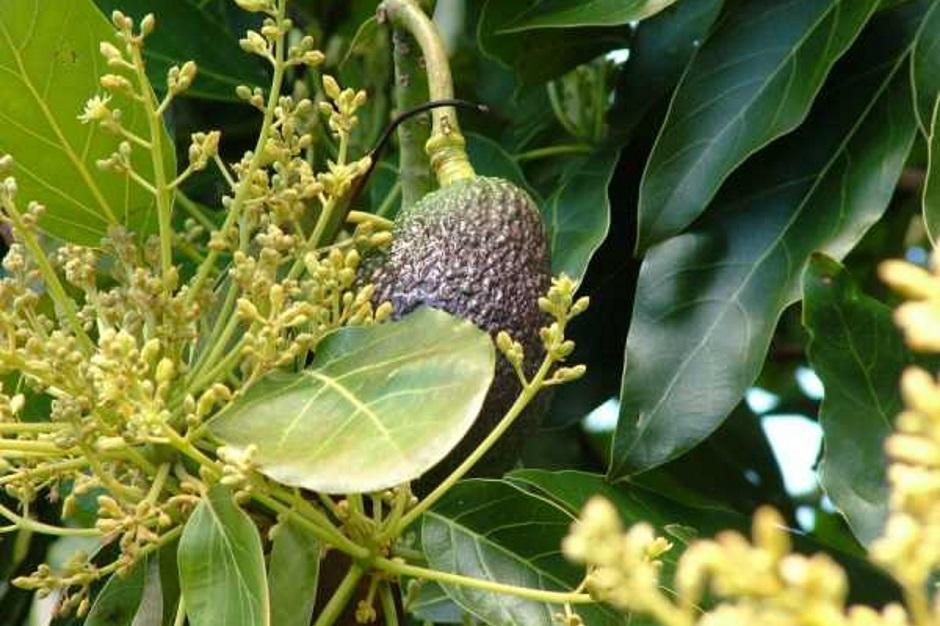 авокадо в домашних условиях плодоносит или нет