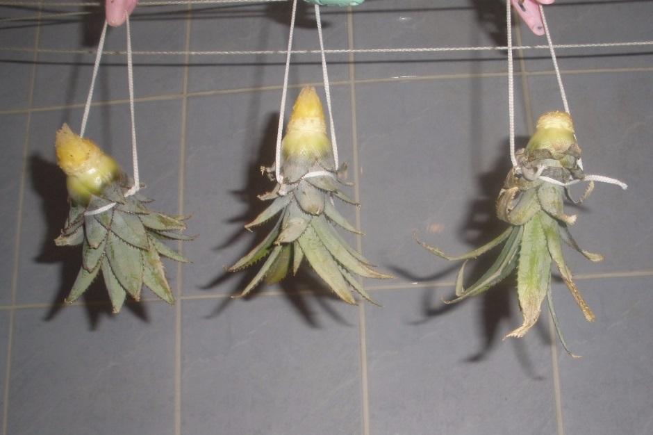 как подготовить верхушку ананаса к посадке