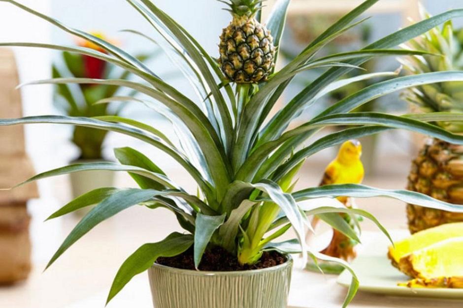 правила полива комнатного ананаса