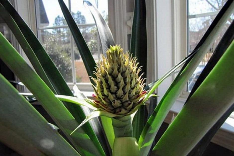 болезни комнатных ананасов