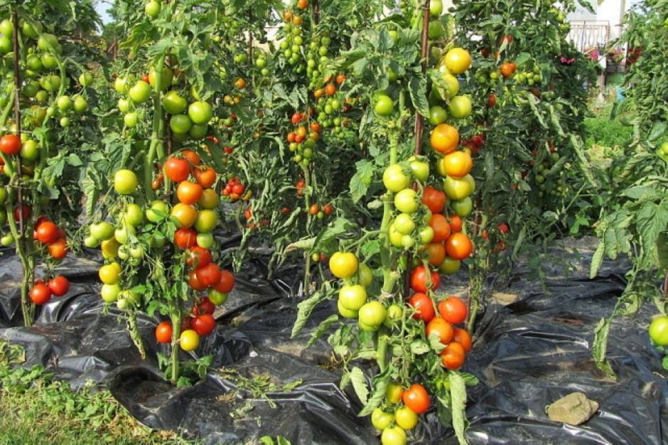 благоприятные дни для ухода за помидорами